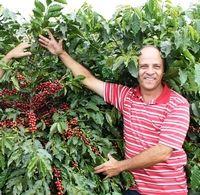 Caféier de café bio du Brésil Nossa Senhora